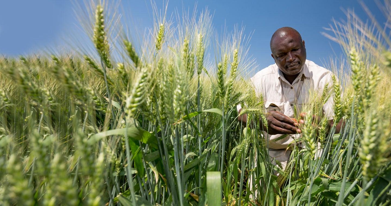 man looking at growing crop