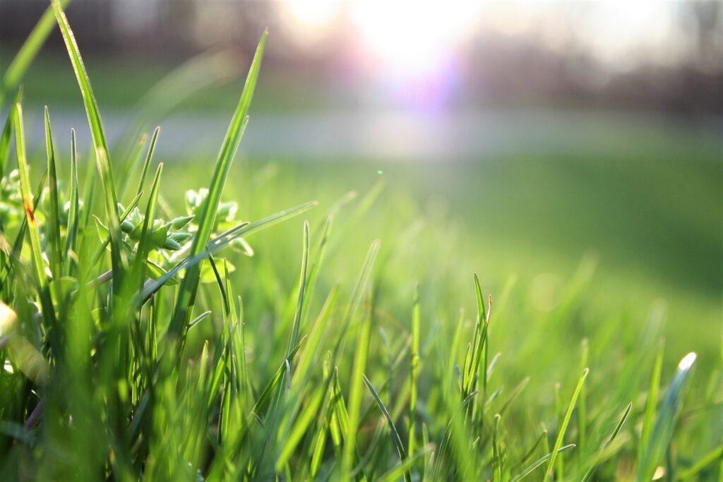 Grass, Plant, Lawn