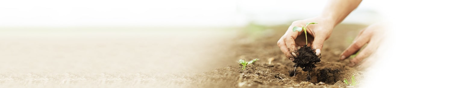 a hand planting sapling into soil