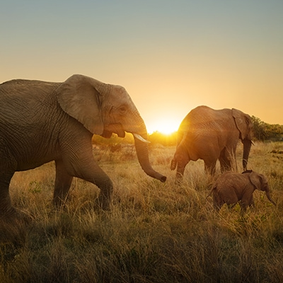Wildlife sunset elephants